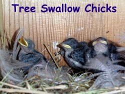 Tree Swallow Chicks in Bird House