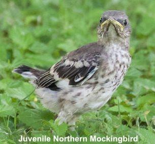 baby, juvenile northern mockingbird
