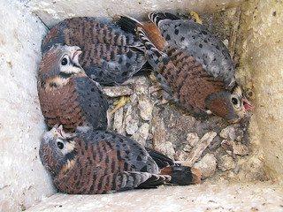 american kestrel nestlings in box