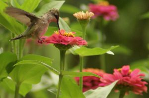 attract hummingbirds with wildflowers