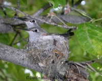 hummingbird nest with nestlings