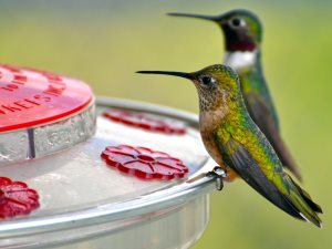 Broad-tailed hummingbirds or Black-chinned male on feeder