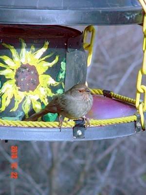 California Towhee Bird Identification