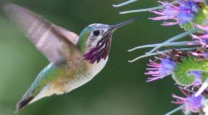 Calliope Hummingbird in a flower garden