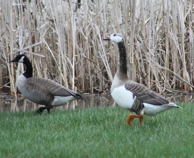 Canada Good hybrid with Greylag Goose