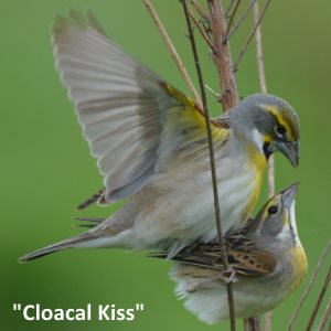 dickcissels mate with a cloacal kiss