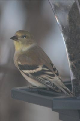 female American Goldfinch in non-breeding winter plumage