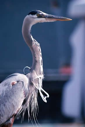 great blue heron with six-pack rings stuck around neck