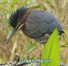 green heron id