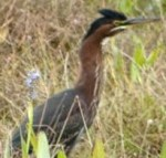 green heron bird identification
