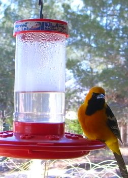 Hooded Oriole at a hummingbird feeder