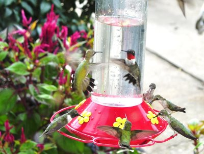 hummingbird feeder with male and female Ruby-throated hummingbirds