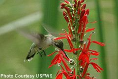 hummingbird cardinal flower