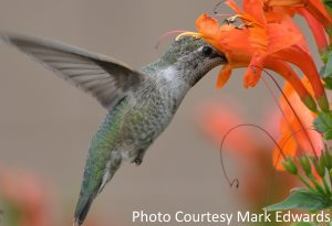 photograph about Printable Hummingbird Nectar Recipe named Hummingbirds Nectar Recipe, Feeders, Exciting Information