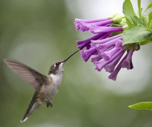 female hummingbird feeding from purple flower nectar