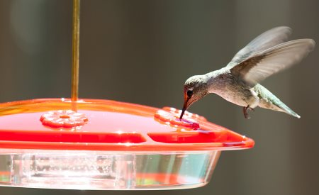 Anna's Hummingbird on Hummzinger hummingbird feeder
