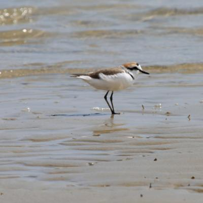 male Kentish Plover bird identification Charadrius alexandrinus