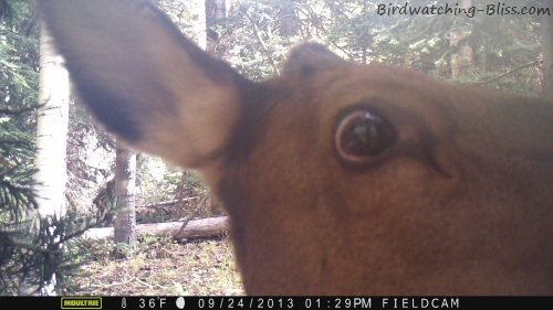 moultrie trail cam elk up close