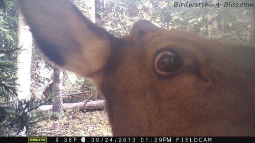 moultrie trail cam elk up close