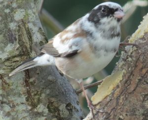 leucistic or partial albino Oregon Junco
