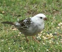 leucistic or partial White Crowned Sparrow