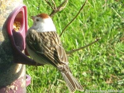 partial albino or leucistic chipping sparrow