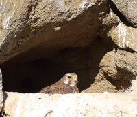 prairie falcon nest cliff