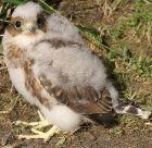 Prairie Merlin Chick