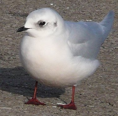 Ross's Gull winter plumage