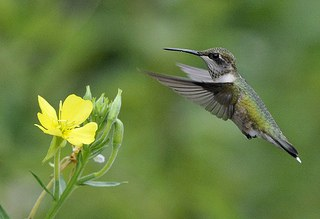 ruby throated hummingbird in flight