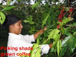 Shade Grown Coffee Farm