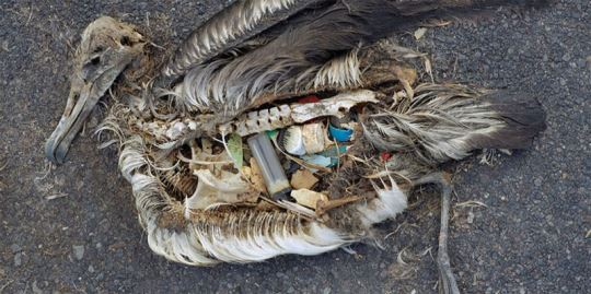 albatross stomach filled with plastics