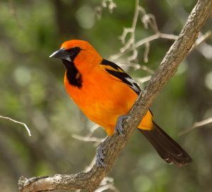 Altamira Oriole of Mexico, Central America, and Southern Texas