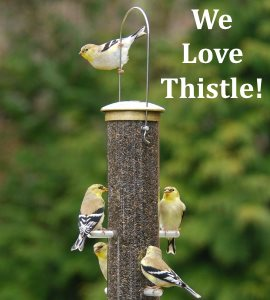 american goldfinch on nyjer thistle bird feeder