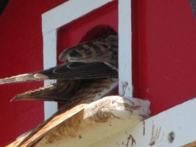 American Kestrel using a bird house