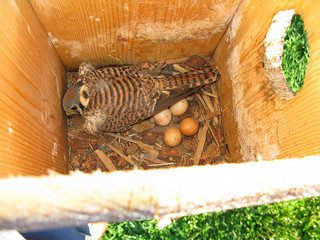 american kestrel nest box with eggs