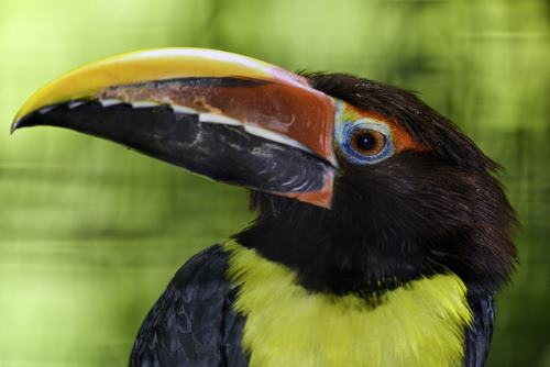 Aracari Toucan of Central and South America, Carribbean, Florida