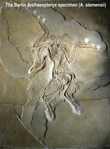 archaeopteryx bird fossil evidence of bird origin and feathers
