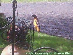 baltimore oriole grape feeder