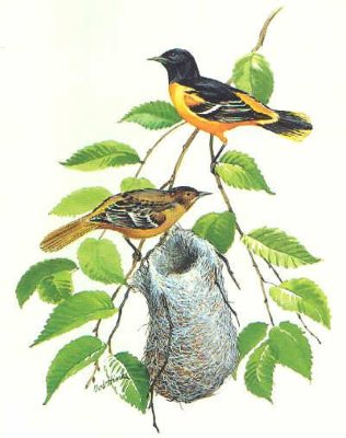 Baltimore Oriole Nest with male and female