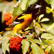 Baltimore Oriole benefits from bird friendly coffee