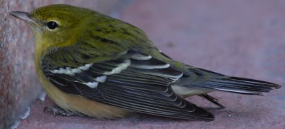 Migrating Bay-Breasted Warbler stunned after hitting city building