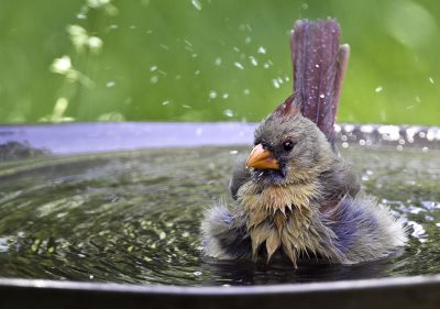 female Cardinal in bird bath