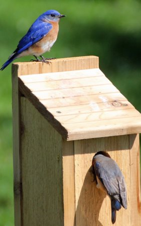 Bird house plans for different species. This one is for bluebirds.