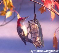 bird suet recipes