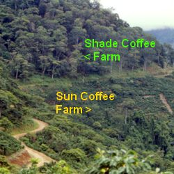 Shade Grown Coffee vs Sun Grown