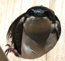 what kind of nestbox hole size should you use