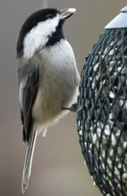 Black-capped Chickadee eating safflower seed from feeder