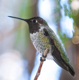 Black-chinned Hummingbird on a perch
