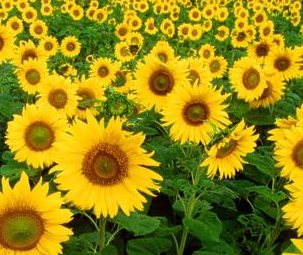 black oil sunflower seeds field of growing flowers